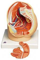 female pelvis
