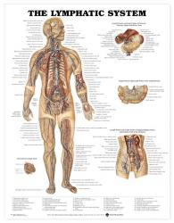 27480-8937 - The Lymphatic System