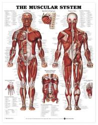 27480-8946 - The Muscular System
