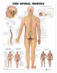 27480-8024 - The Spinal Nerves